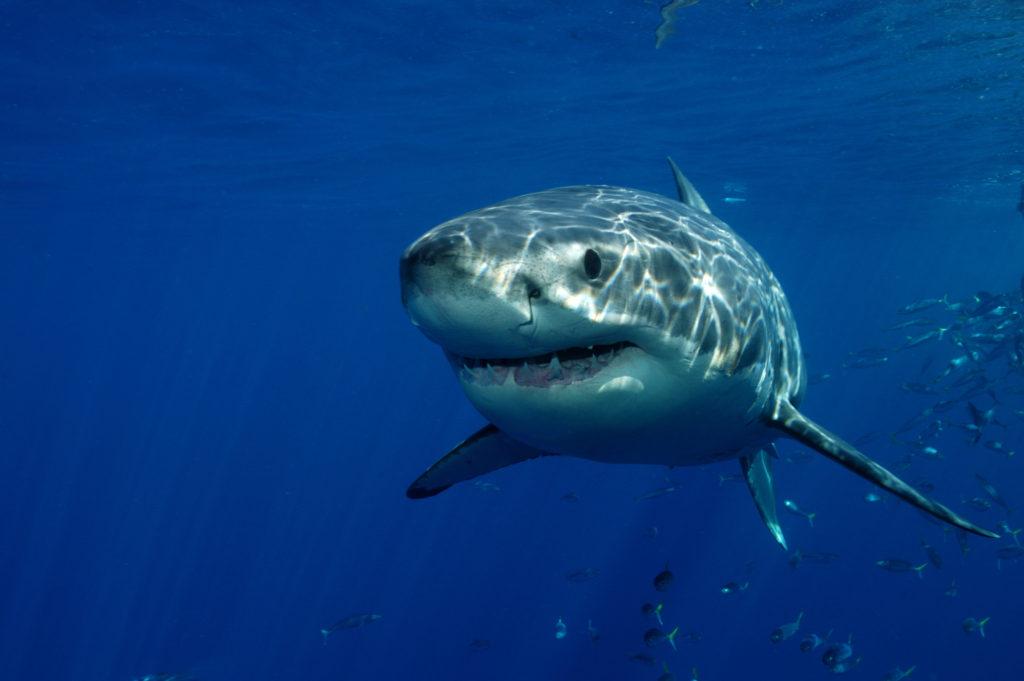 Paediatric dental shark teeth